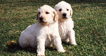 The legacy of the labradoodle