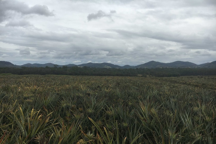 Field of pineapples ready for harvest