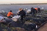 A group of farm workers planting strawberries