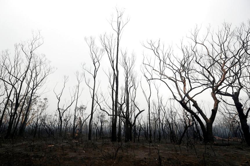 袋鼠山谷里烧焦的树林