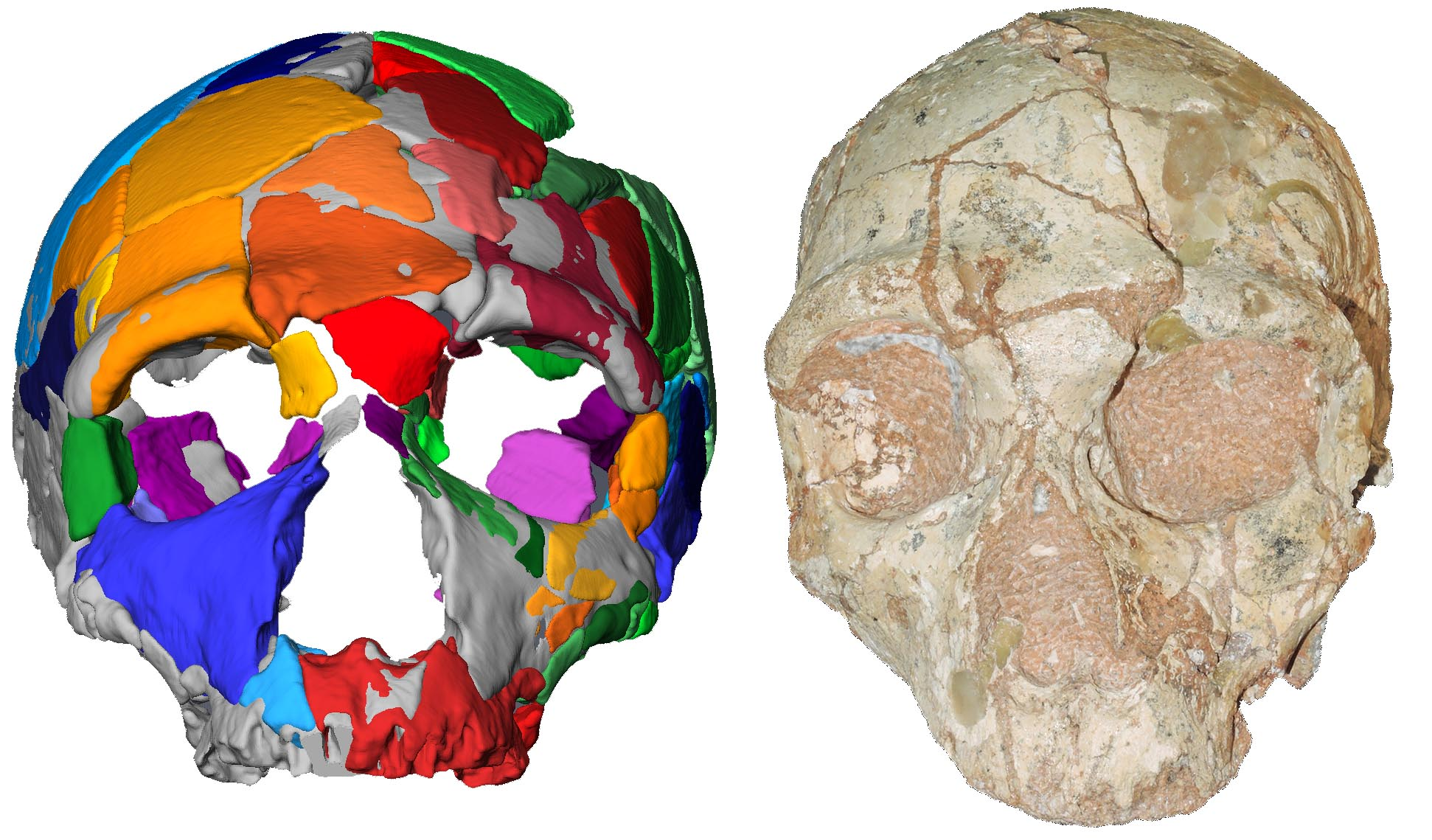 Neanderthal skull and its reconstruction