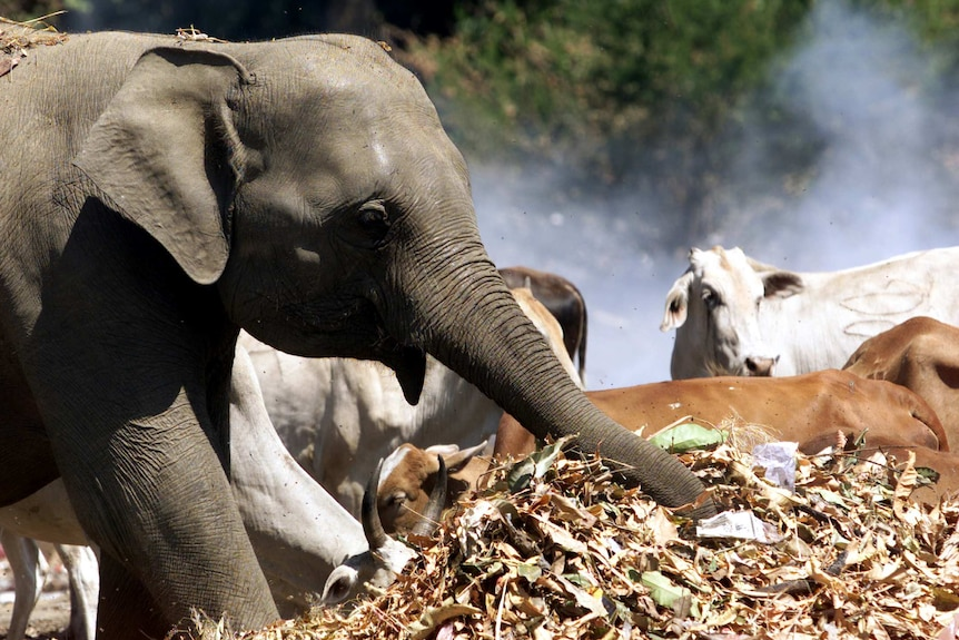 An elephant reaches into a pile of rubbish with its trunk.