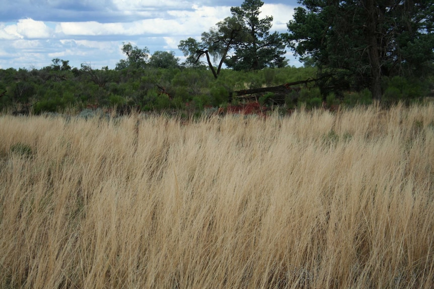 A photo of brown, tall grass growing in an open area, surrounded by trees.