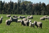 A mob of sheep stand in a green paddock in front of a tree plantation at Jigsaw Farms