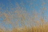 A weedy grass blowing in the wind with blue sky behind.