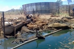 Images show some of the 100 cattle perished on a remote pastoral property in 2012.