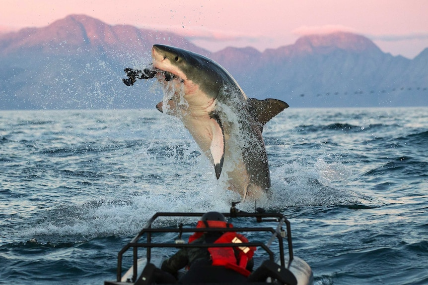 A great white shark captures prey while jumping out of the ocean, in front of a dusky mountain background.