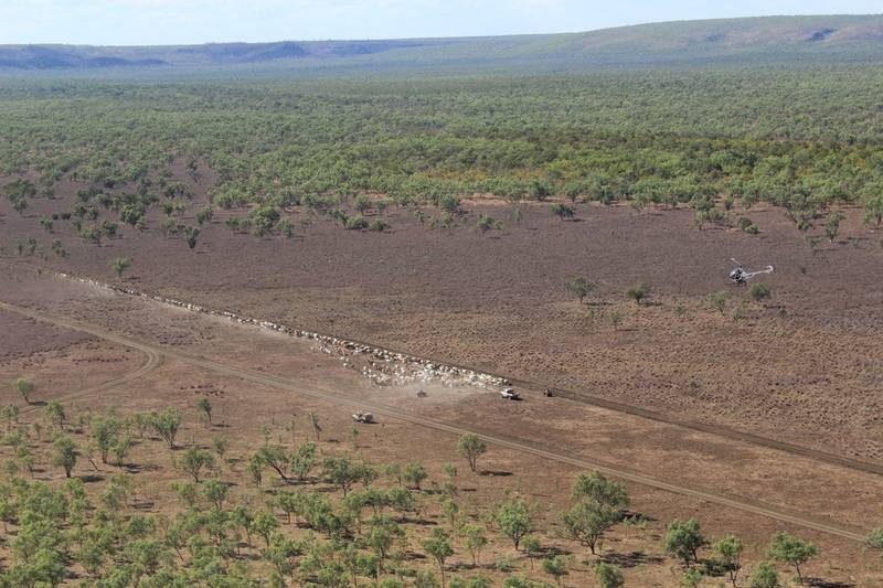 an aerial shot of cattle being mustered by helicopter and ute on Mt McMinn Station.