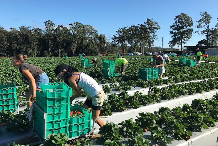 People in a strawberry field next to fruit picking crates.