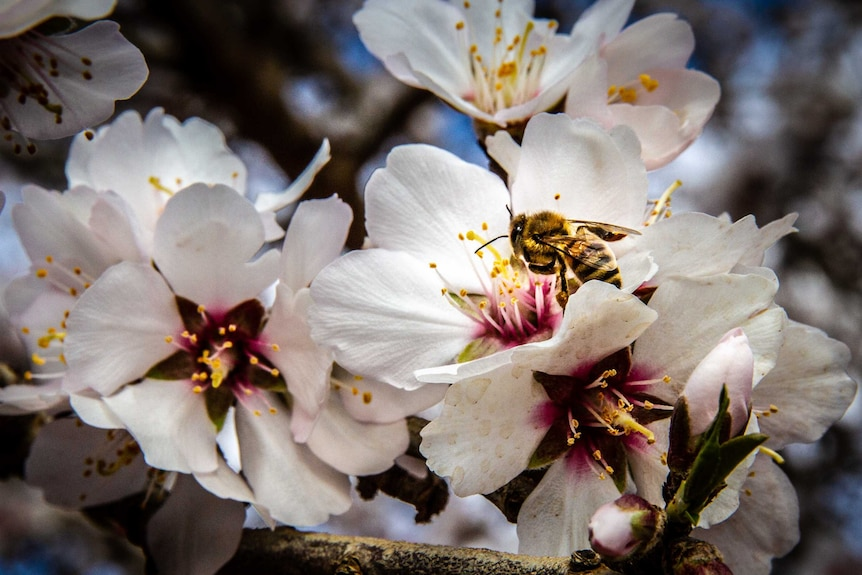 Bees pollinate white flowers.