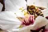 Bees on almond tree flowers