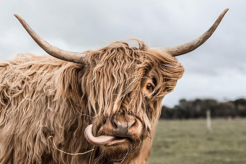 Shaggy cow with big horns looks at camera, licking its nose