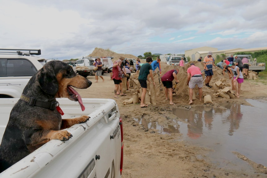 A dog in the tray of a ute watches as people fill sandbags.