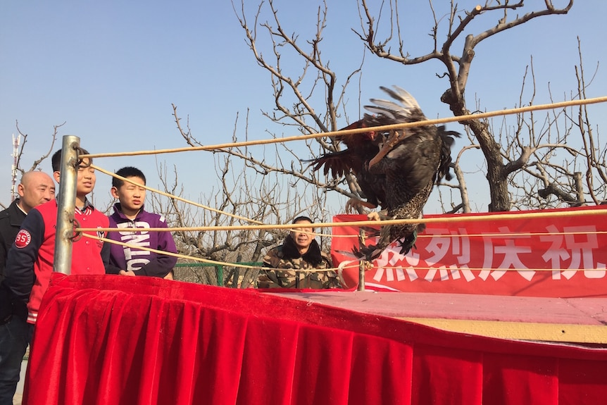 Children watch a cockfight ahead of year of the rooster at a poultry farm near Beijing