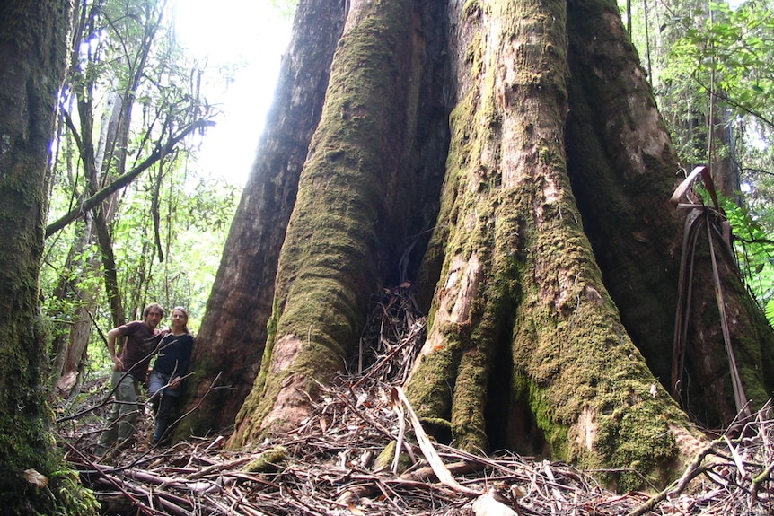 A couple standing by the base of a giant fluted, moss-covered tree trunk.