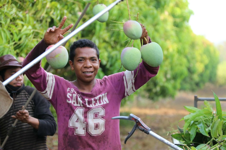 A young Timorese worker holding up a bunch of mangoes while picking in an orchard.