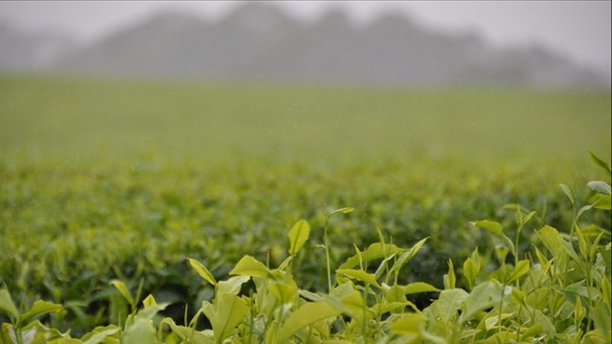 Play Audio. Homegrown Nerada tea could be bound for UK. Duration: 9 minutes 4 seconds