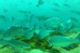 Tropical fish Kyphosus bigibus