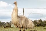 A rare white emu