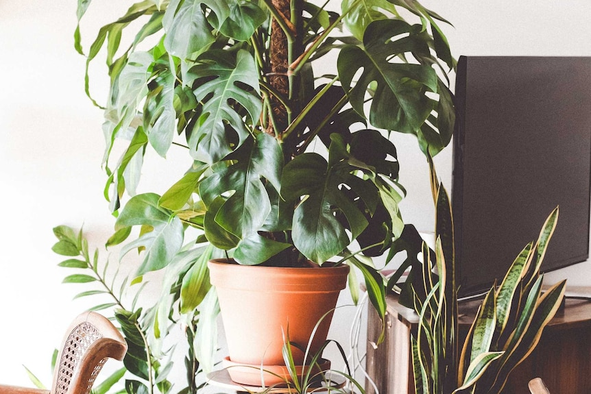 A monstera plant grows with the aid of a totem, and benefits from an epiphyte potting mix.