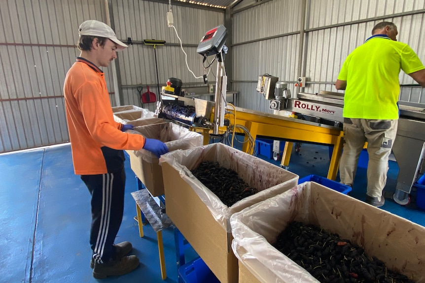 A young man in an orange shirt on a packing line with boxes of mulberries.