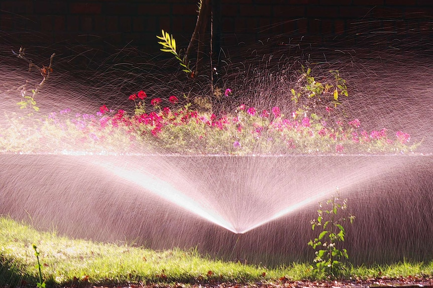 A garden sprinkler sprays water into the air in front of a row of pink flowers.