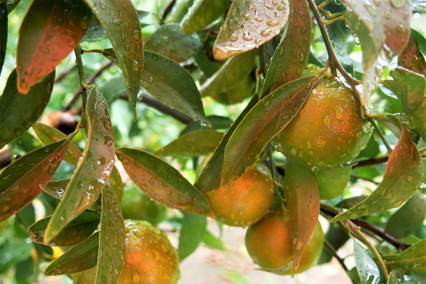 Close up of imperial mandarins growing on a tree