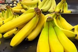 Banana production in Queensland has become costly since Panama disease.