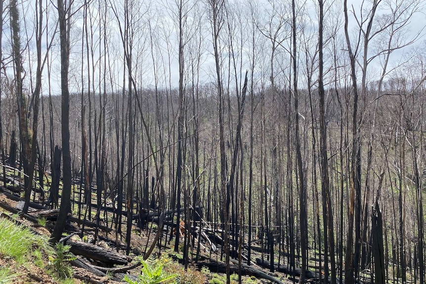 Alpine Ash forest near Yarrangobilly Caves scorched by fire in January 2020