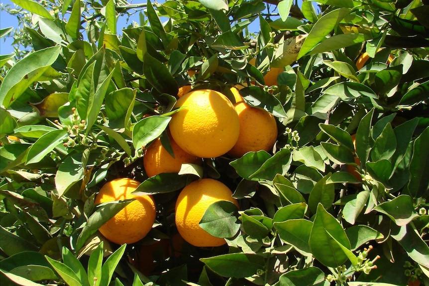 Hillston oranges