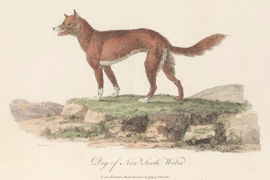 A historic drawing of a dingo standing on a raised bit of a grass.