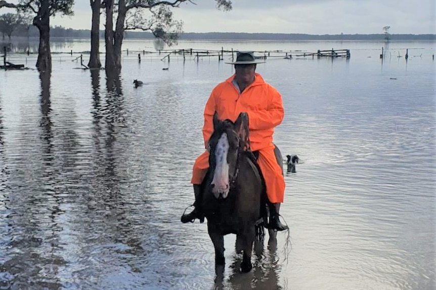 Man with fluro orange raincoat and gumboots riding a a brown horse through floodwater with two dogs swimming behind them.