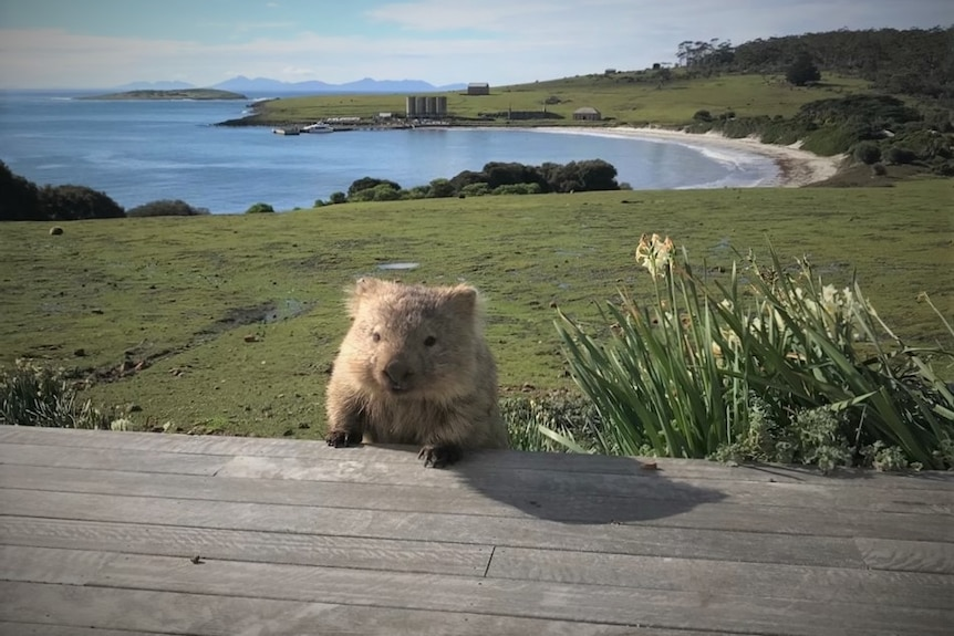 Wombat poking its head above a deck with a coastal backdrop.