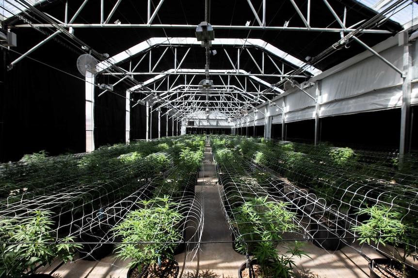 Rows and rows of marijuana plants