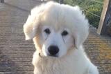 8 week old maremma pup