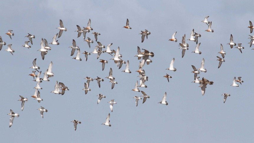 A flock of birds flying in the skies of the Gulf of Carpentaria
