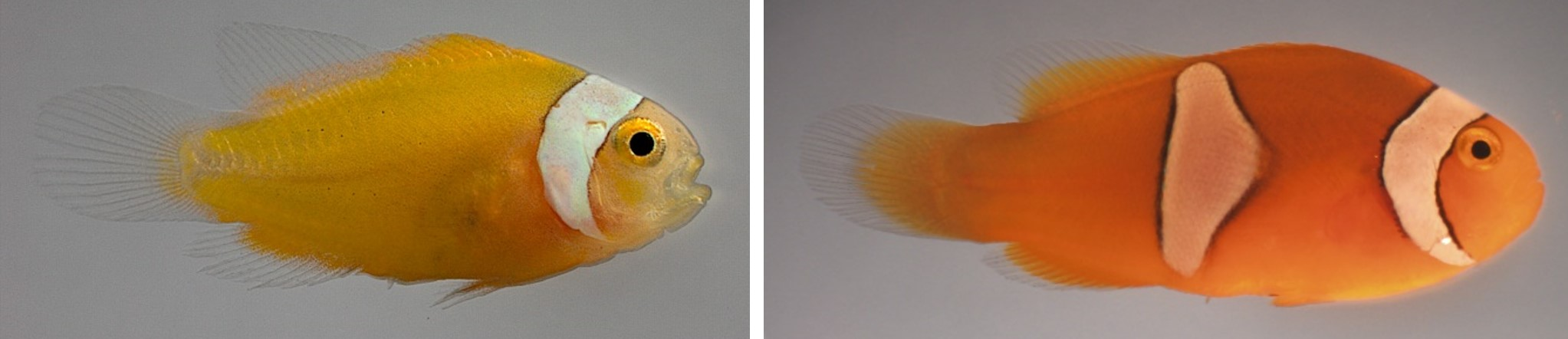 Two clownfish, one with one stripe, the other with two stripes