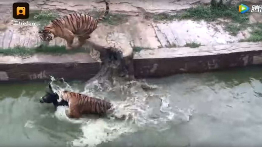 A tiger bites the jugular of a donkey in the water while another tiger stalks on the bank
