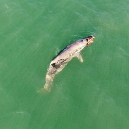 A dolphin on its side in green waters.