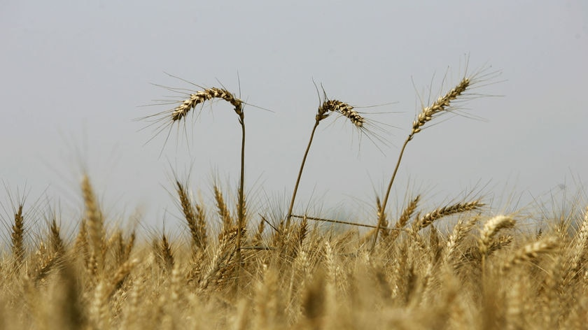 Three ears of wheat rise above the others
