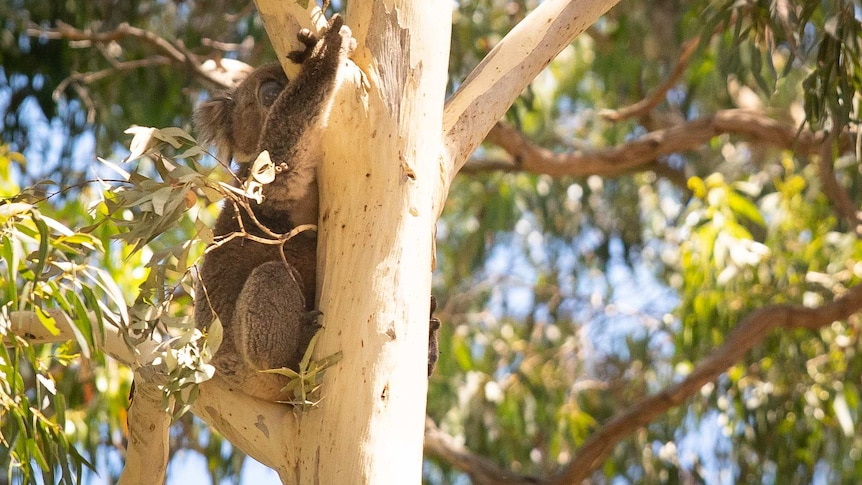 A koala sleeps while hugging a tree trunk surrounded by green leaves