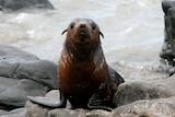 Australian fur seals in shallow water at Phillip Island