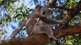 Koala sitting in a tree.