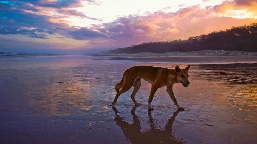 Dingo on the beach at Fraser Island.