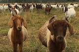A boer goat herd in Queensland