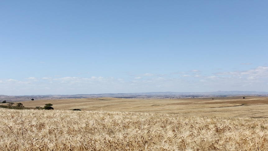 A field of golden wheat with undulating hills in the background.
