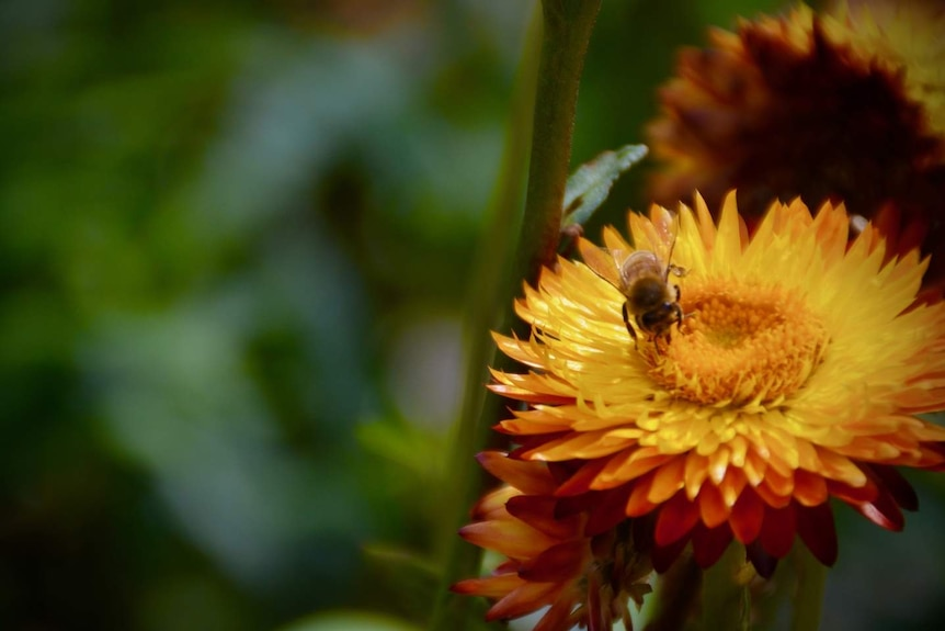 Bee collects nectar from orange flower