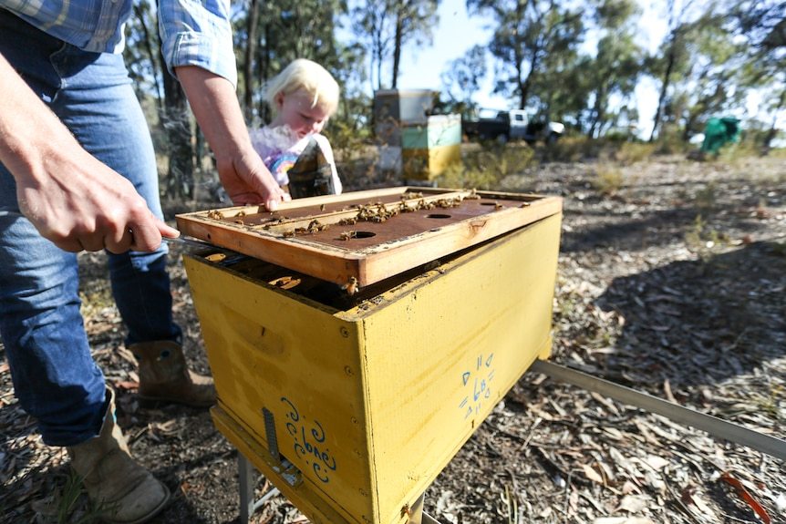 A woman opens a beehive