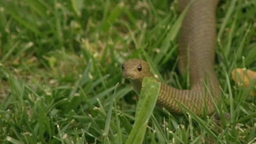 "Snake catcher Harley Jones says brown snake venom is ""highly toxic"""