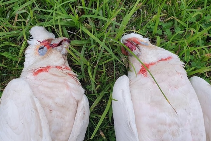 Two corellas with blood on their beaks